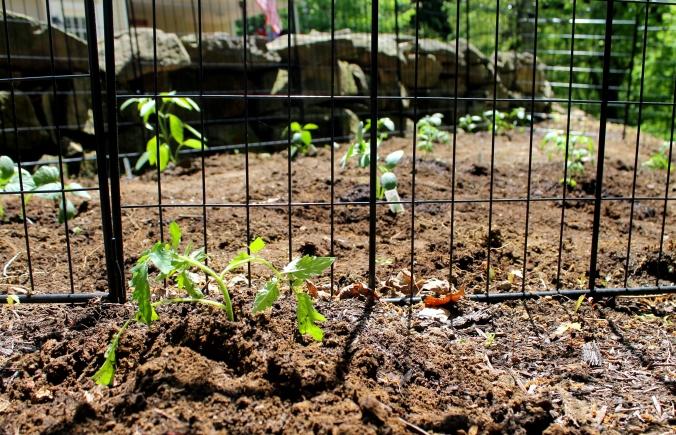 Mikeys tomato plant