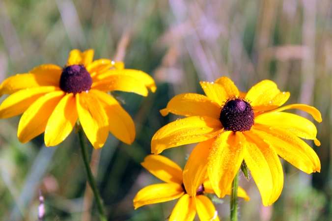 MWWM Brown Eyes Susans