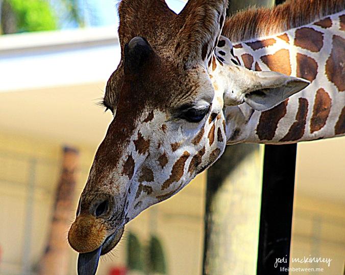 giraffe naples zoo
