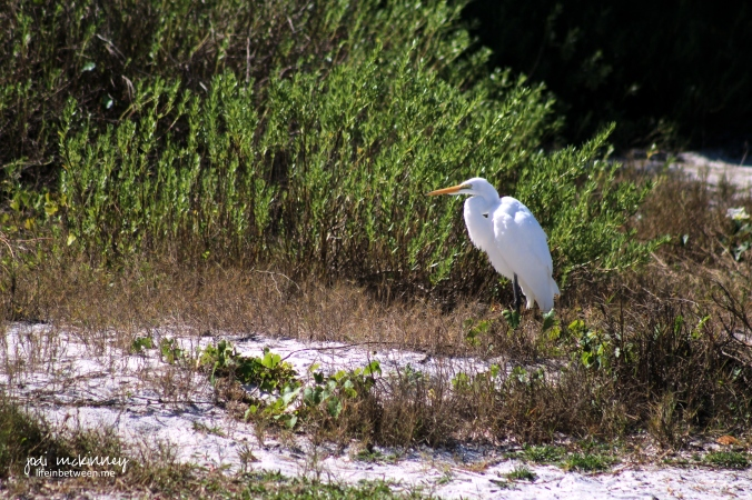 sanibel bird 3