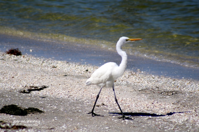 sanibel bird 5