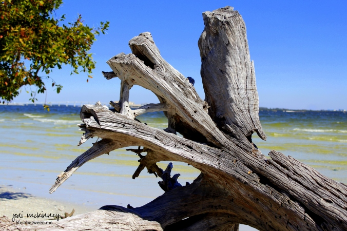 sanibel driftwood 2