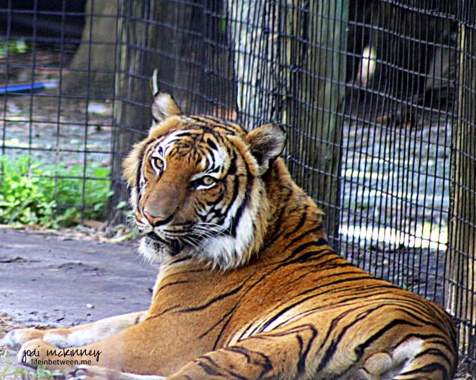 Tiger Naples Zoo