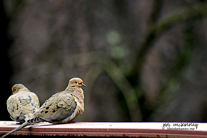 Mourning Doves 032015