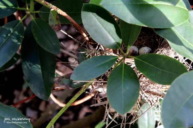 cardinal eggs 2