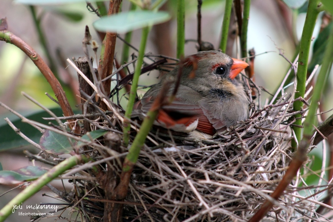 cardinal nest sitting on eggs