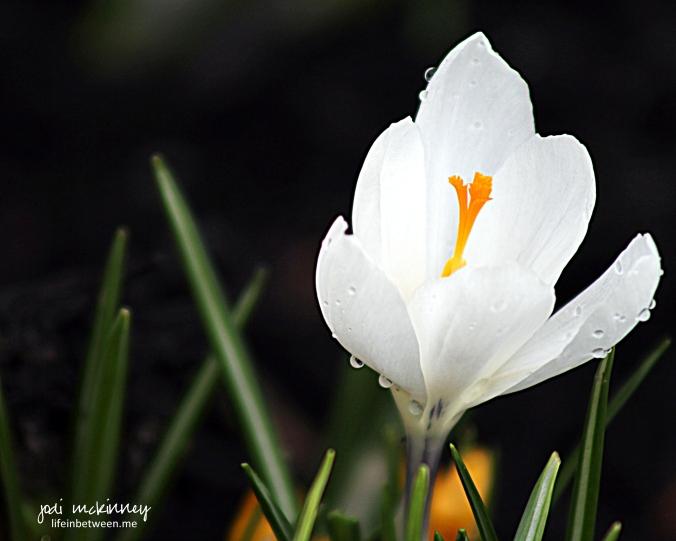 crocus white