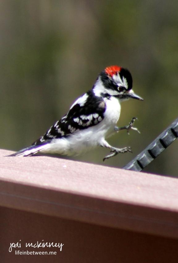 downy woodpecker or hairy