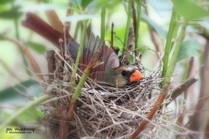 female cardinal nest