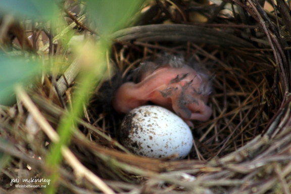Baby Cardinal Day 1