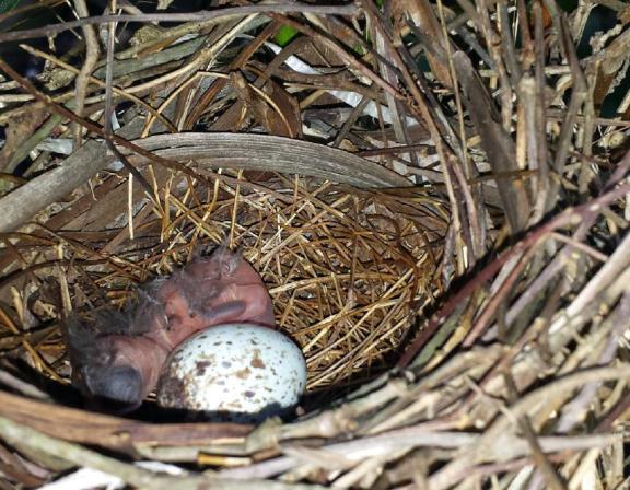 baby cardinal just born