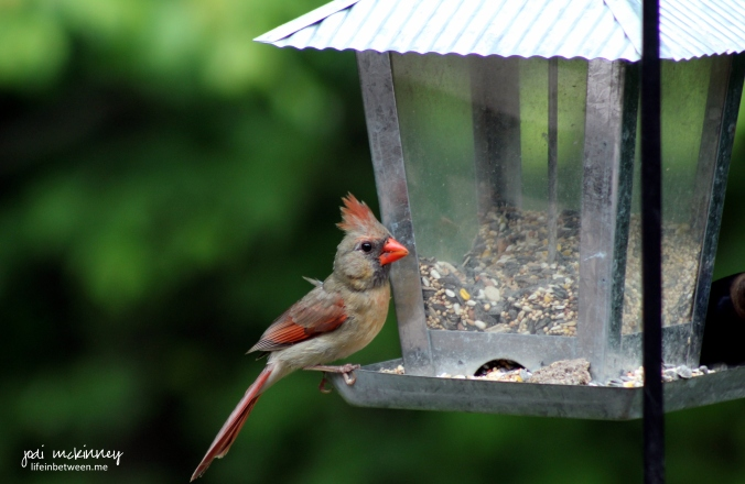 baby girl cardinal growing up