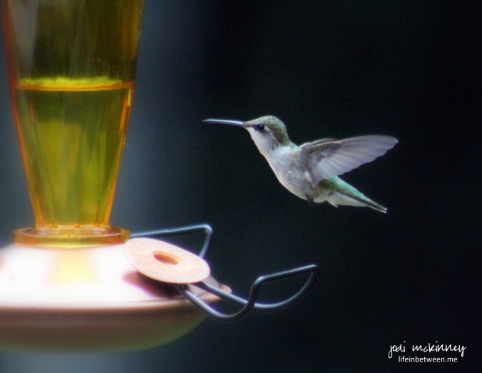 hummingbird at oriole feeder