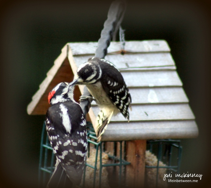 woodpecker love affair