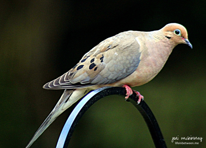mourning dove ol' blue eyes