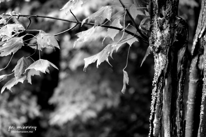 monochrome black and white leaves trees
