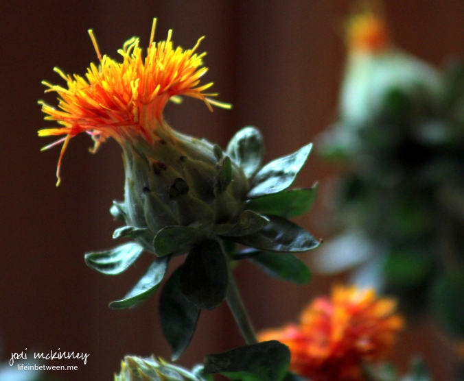 orange safflower thistle flower