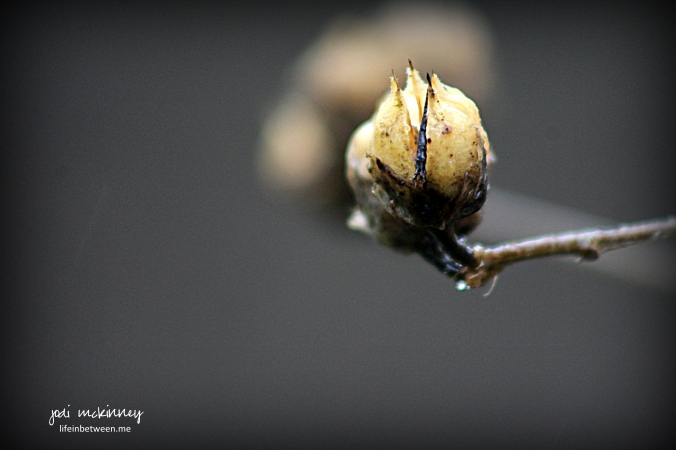 rose of sharon winter flower pod