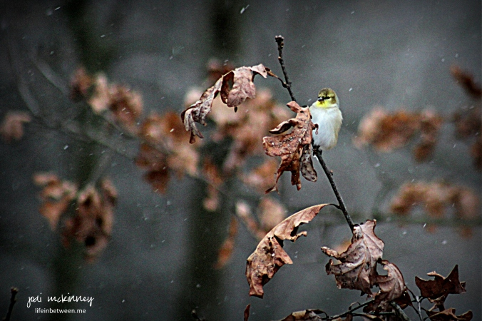 Winter snowy gold finch