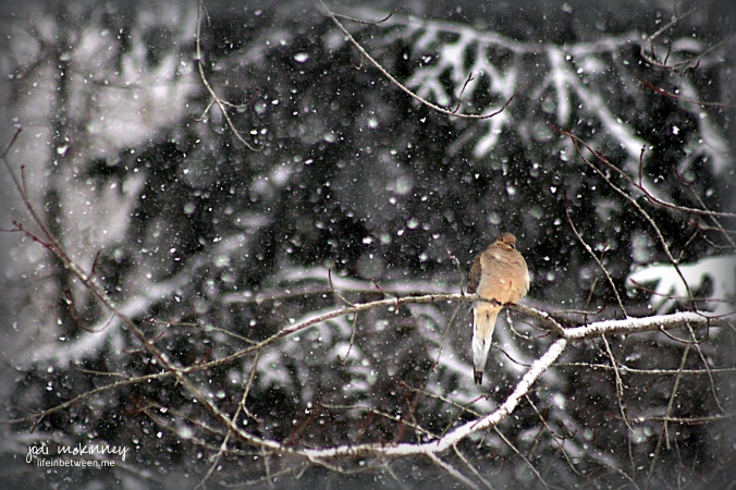 mourning dove on snowy branch 011216