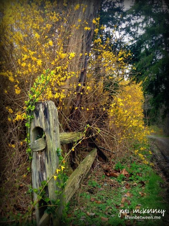 forsythia fence