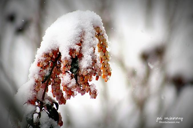 japonica snow
