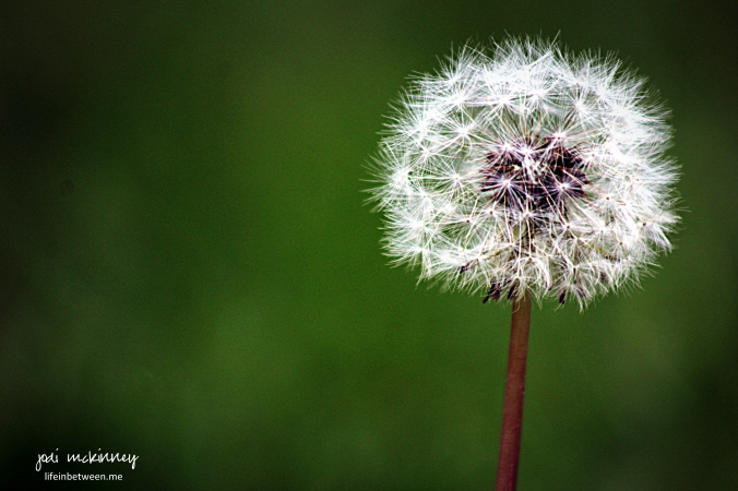 Dandelion Seeds Flower Make a Wish
