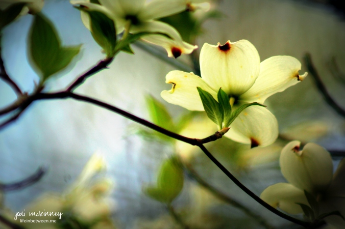 dogwood blossoms looking up