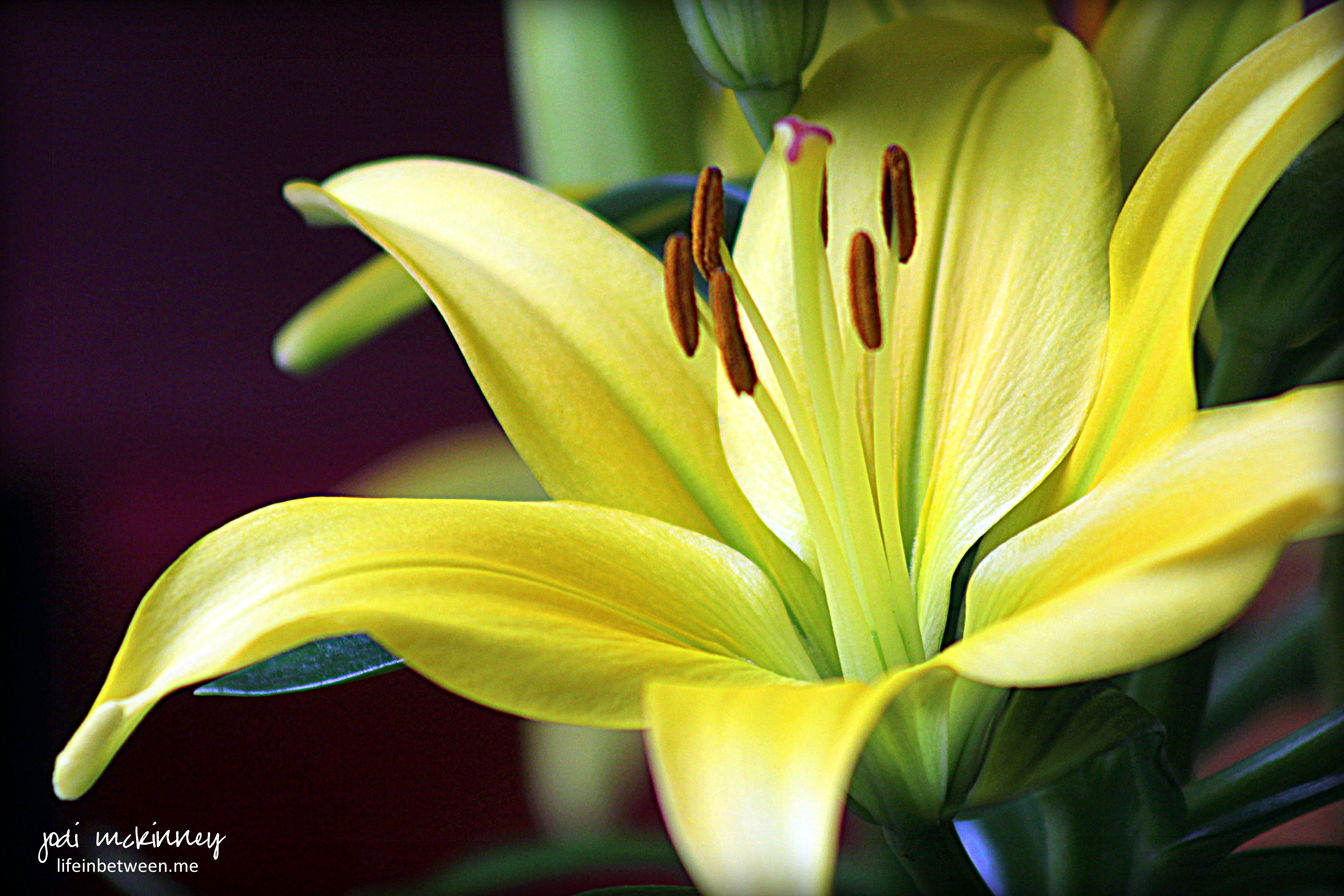 Creative inspiration in food watercolor photography writing and yellow asiatic lily tiny glow mothers day 2016 izmirmasajfo