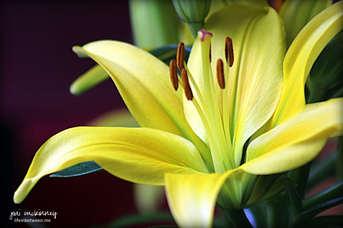 Yellow Asiatic Lily Tiny Glow Mothers Day 2016