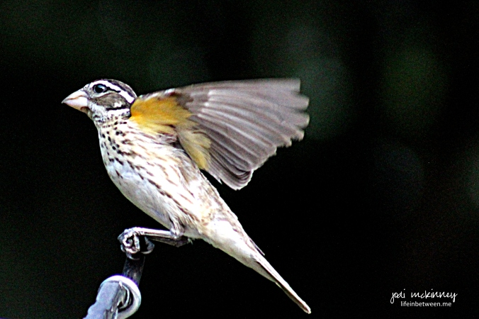 female grosbeak in flight