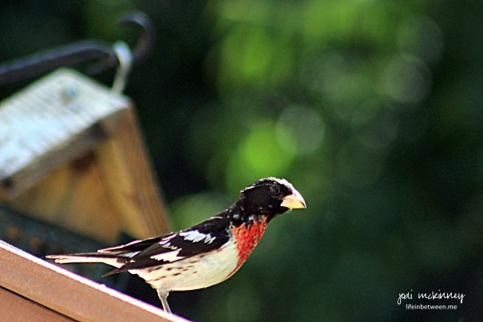 male grosbeak