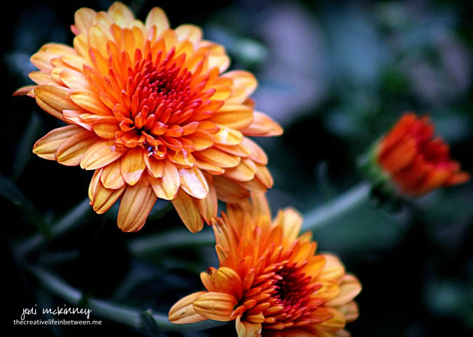 orange-chrysanthanum