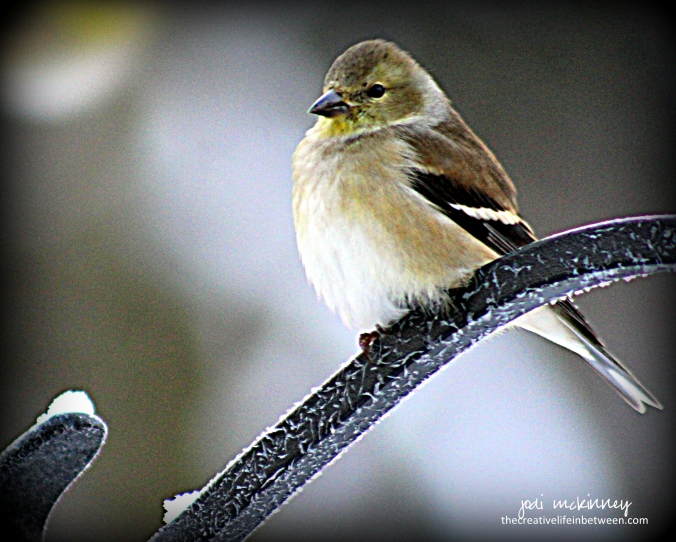 goldfinch-winter-010617