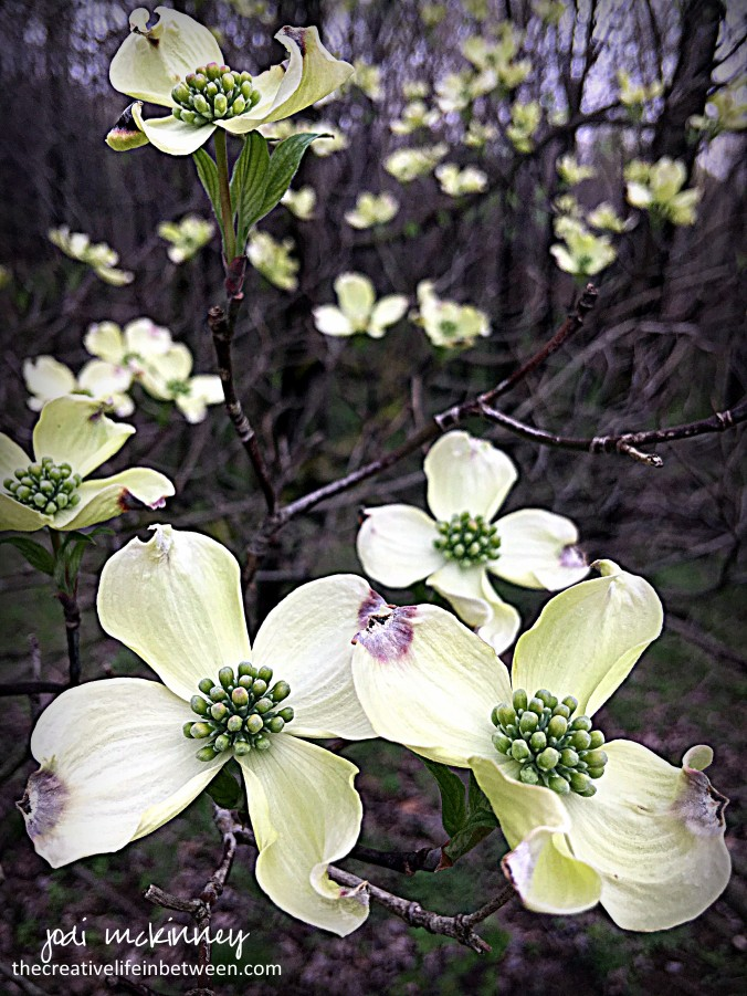 The Old Dogwood Trees' Blossoms