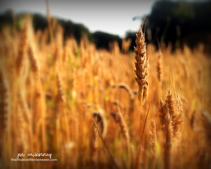 Amber Waves of Grain - America the Beautiful
