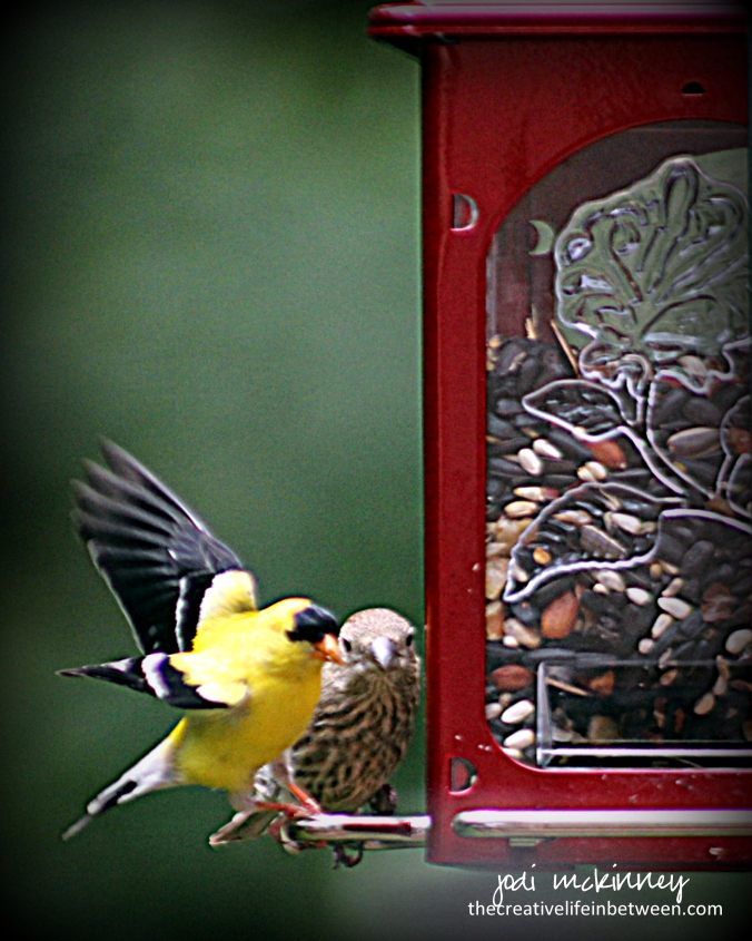 Goldfinch and Grosbeak at the feeder - Mars, PA - June, 2017