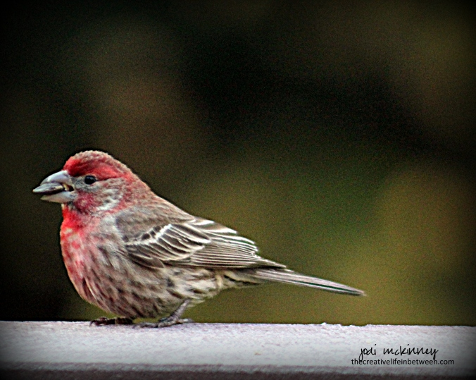 Purple Finch - Mars, PA June 2017