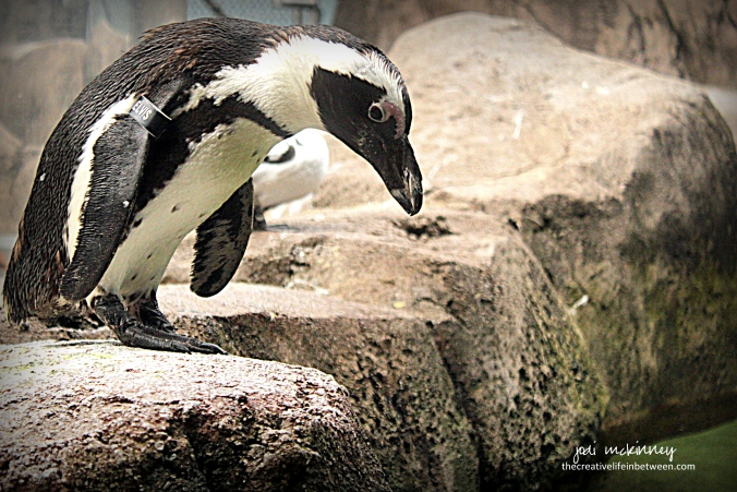 Elvis the Penguin at the National Aviary, Pittsburgh, PA - September, 2017