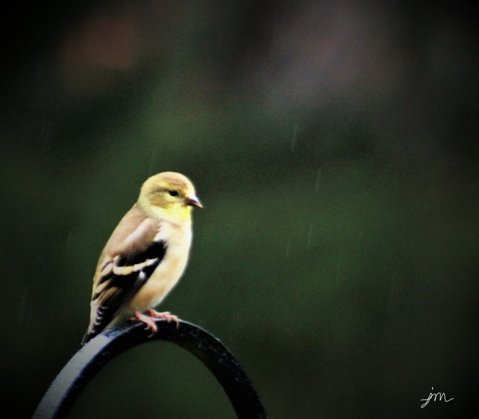 Goldfinch in the Rain - Autumn, Mars, PA