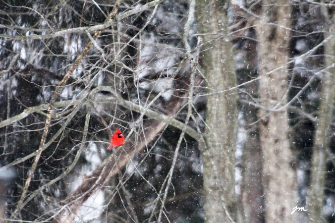 Red Male Cardinal - Backyard, Mars, PA - taken through glass window - January, 2018