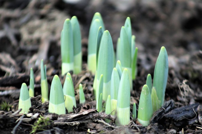 Daffodils Popping out of the Ground - February 20, 2018 - Mars, PA