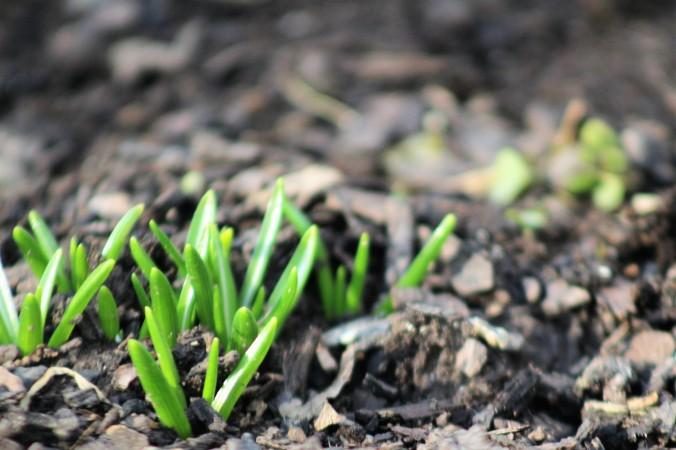 Grape Hyacinths Emerging - February 20, 2018 - Mars, PA